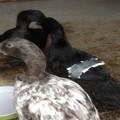 backyard ducks