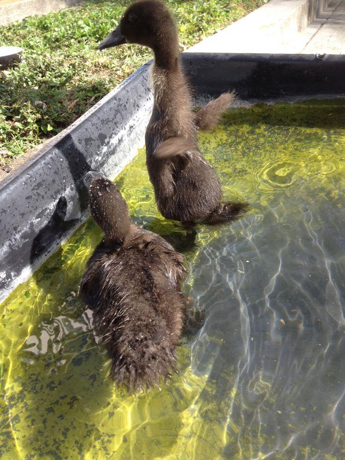 cayuga ducks backyard ducks