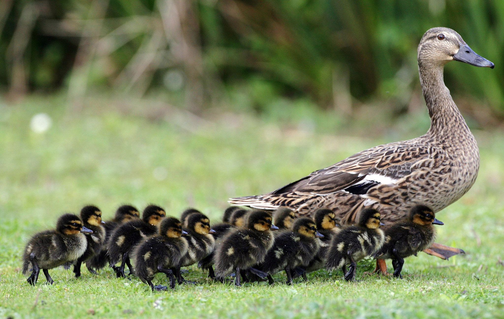"""D"""" is for Ducks, Dabblers and Divers: """"D"""" Birds, Part 1 