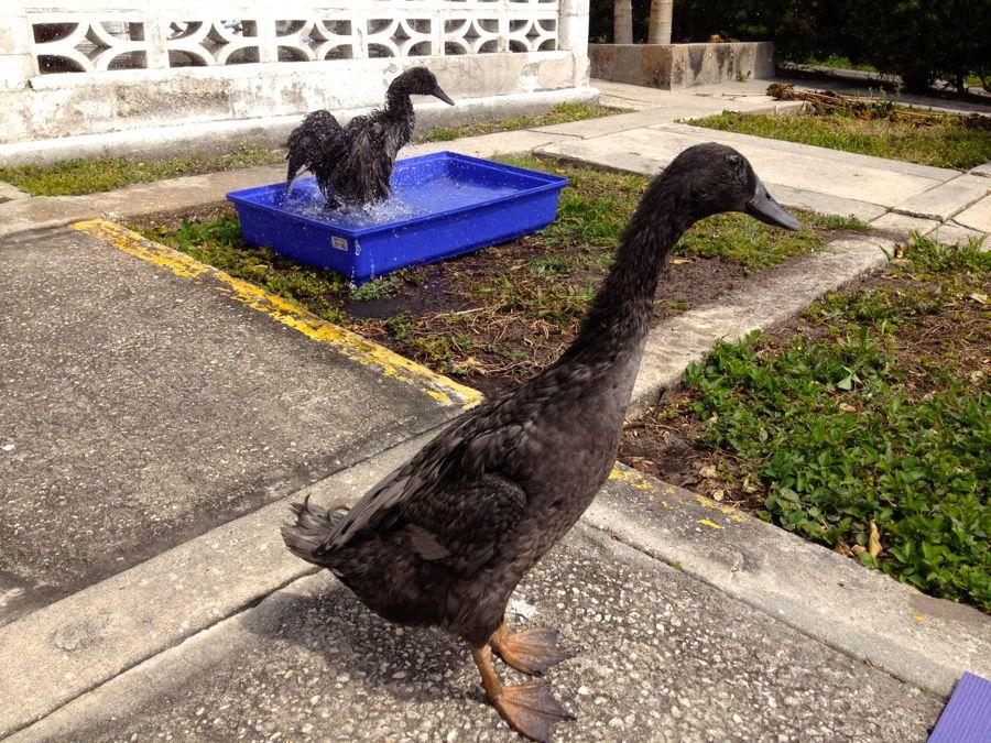 runner ducks backyard ducks