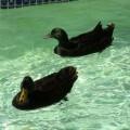 male cayuga ducks