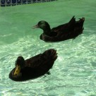 male cayuga ducks