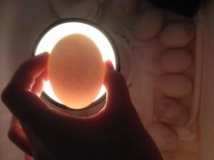 egg candling day 1