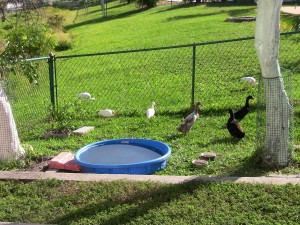 duck pond, duck kiddie pond, duck play pool, duck water bin