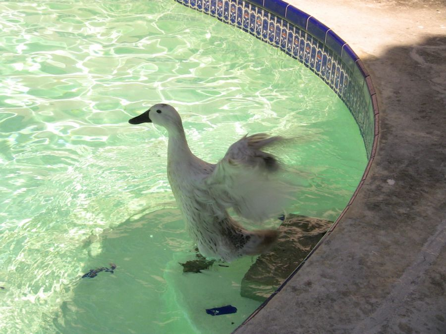 Building a duck pond backyard ducks - How do i keep ducks out of my swimming pool ...